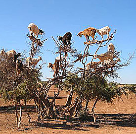 Goats will go to great lengths to get at food
