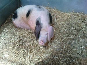 Corky as a cute little piglet
