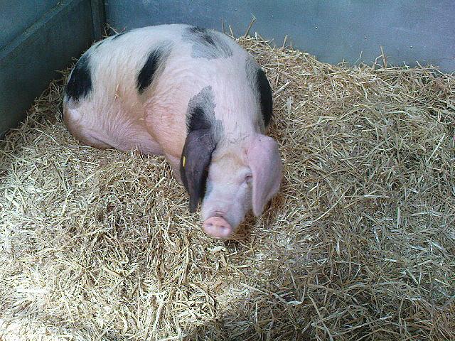 Corky as a cute little piglet