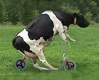 Your cow won the Tour de France on steroids