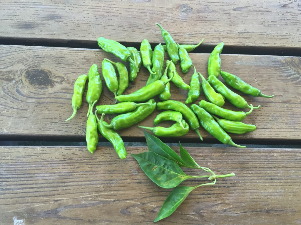 Just Picked Shishitos